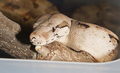 Hog Island Boa (fab_rice2) Tags: