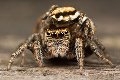 A Tale of Two Jumpers... (Oliver C Wright) Tags: sex spider mating jumpingspider