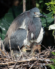 Tricolored Heron with Chicks (Bill McBride Photography) Tags: baby bird heron nature canon eos rebel orlando adult nest florida wildlife mother may chick chicks fl juvenile avian xsi tricoloredheron egrettatricolor tricolored 100400 2013 ef100400l 450d flfloridanaturewildlife