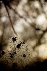Fior Medusa