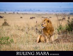 Ruling Mara... (Marcio Ruiz) Tags: africa kenya lion mara simba massai maasai leão masaimara maasaimara massaimara marcioruiz quênia mruiz mrruiz rulingmara