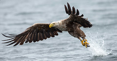 The White tailed eagles of Smøla, Norway (Pewald) Tags: sea fish nature birds norway action wildlife dive catch eagles fjords whitetailedeagles bestcapturesaoi elitegalleryaoi