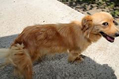 IMG_2930 (VIPevent) Tags: bitzi serbien kettenhund