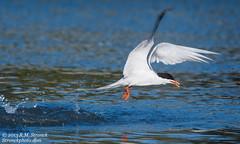 Forster's Tern (Bob Stronck) Tags: avian redwoodcity redwoodshores sanmateocounty forsterstern sternaforsteri plungedive stronckphotocom birdsofsanfranciscobay ©2013rmstronck