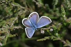 Heathland Blue (raggi di sole) Tags: blue england male nature butterfly insect outdoors heather lepidoptera heathland lycaenidae plebejusargus silverstuddedblue chobhamcommon