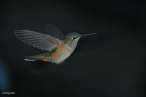 Photo - Female Broad-tailed Hummingbird.