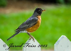 Fence Sitter (SewerDoc) Tags: bird nature robin closeup citrit photographerparadise artofimages showthebest