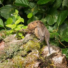 (Steve Hodgson Photos) Tags: scotland isleofskye blackbird tamron200500 sonya580
