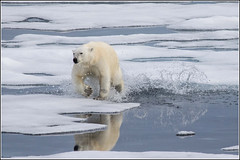 Just made it. (Smudge 9000) Tags: bear summer ice svalbard arctic polarbear pack polar ursusmaritimus 2013 svalbardandjanmayen