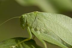 Grasshopper (Jason Pier in DC) Tags: macro grass animal closeup yard insect dc back micro grasshopper 105 hopper 105mm