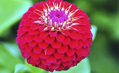 Zinnia #2 (karstenphoto) Tags: flower macro 120 mamiya closeup analog 645 fuji 11 fujifilm medium format mm zinnia f4 reala 120mm f40 magnification