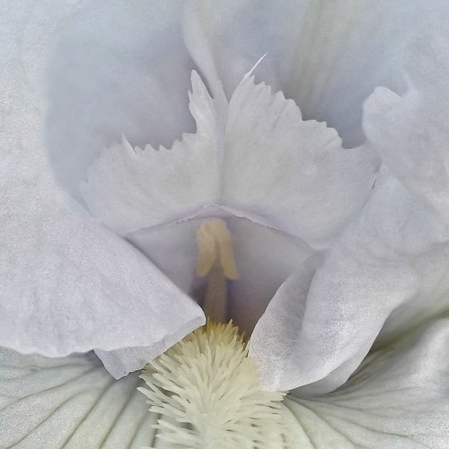 Bearded White Iris Flower - 20130916