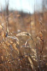golden (Pics by Abigail) Tags: morning autumn light brown fall nature canon dead outdoors golden weeds 50mm14 grasses go
