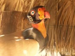 Buitre (Carlos Henriquez Pantaleon) Tags: vulture buitre zoodom