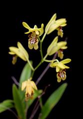 Dendrobium closterium (Boazng) Tags: new ile pic pins des pines dendrobium isle caledonia nga closterium