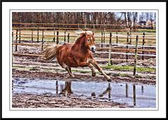 even dollen (gill4kleuren - 11 ml views) Tags: life horse me sarah fun outside happy running gill saar paard haflinger