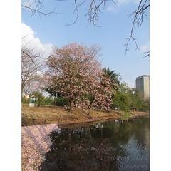 Pink again  #tabebuya #pinkflower #flower #biodiversity #tree #plant #park #publicpark #chatuchak #bangkok #thailand #february #2014 #bbkk  #สวนรถไฟ #ชมพูพันทิพ