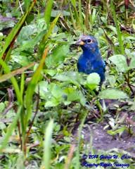 Indigo Bunting (George Case, Kountry Roads Imaging) Tags: nature birds nikon florida wildlife case palmetto manateecounty nikkor70300mm d7100 kountryroadsimaging nikond7100 georgecase feltspreserve