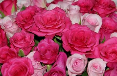 Happy Anniversary Wanda (Elisabeth, Kelev, Tama, Mazal) Tags: pink flowers roses rose wanda anniversary explore rozen trouwdag vision:sunset=0588 vision:outdoor=0742 vision:plant=0606 vision:flower=066