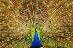 Indian Peacock (5ERG10) Tags: blue italy green bird sergio animal train nikon italia display indian tail beak feathers feather peacock april aprile bergamo edith filippo peafowl pavone castiglione courtship 2013 lecornelle amiti 5erg10
