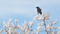 GDP_8268 (G David Photography 2016) Tags: winter snow cold birds gardenofthegods