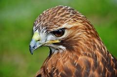 Red Tailed Hawk (stavioni) Tags: bird birds hawk tail beak prey buzzard rd tailed yateley