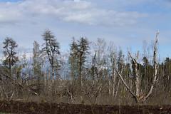 Decaying Birch_1150 (Mike Head - Jetwashphotos) Tags: trees canada march bc britishcolumbia delta birch bog deadtrees lowermainland westerncanada burnsbog paperbirch lowerfraservalley