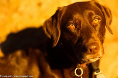I love you, Shyla (KB RRR) Tags: dog sunrise colorado labradorretriever rockymountains frontrange shyla