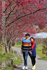 Sakura season in Taiwan 2015   (*dans) Tags: creek river nationalpark spring blossoms taiwan sakura cherryblossoms taichung        wuling wulingfarm  sheipanationalpark    tsec   taiwansalmon  cijiawanriver wulingvisitorcenter wulingnationalhostel taiwansalmonecocenter cijiawancreek cijiawan