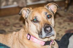 Be Mine! (Marcy Leigh) Tags: dog pets nikon valentine daisy pooch tamron bemine