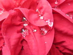 the drops (oneroadlucky) Tags: red plant nature water drop