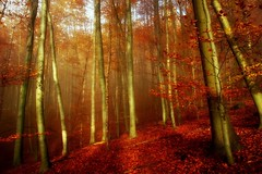 AllTheRedInMyHead (BphotoR) Tags: november autumn red sun rot leaves forest canon herbst foliage trunks sonne wald baumstmme g10 compactcam bphotor