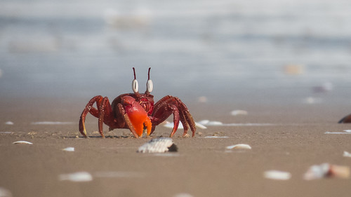 "red ghost crab • <a style=""font-size:0.8em;"" href=""http://www.flickr.com/photos/125940588@N07/16201237457/"" target=""_blank"">View on Flickr</a>"