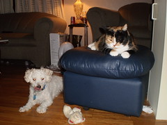 Charlie and Autumn (universalcatfanatic) Tags: pink blue orange dog cats white black eye lamp tongue cat hair fur table toy nose foot grey living fan eyes chair glow candle box top room curtain gray can lick tortoiseshell couch plastic short calico end bichon frise glowing tortie ottoman collar stool licking lay footstool laying endtable