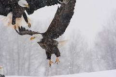 Bald Eagle (Haliaeetus leucocephalus ) (JPM Lamontagne) Tags: winter snow nature novascotia baldeagle snowing haliaeetusleucocephalus annapolisvalley birdsofprey 2015 sheffieldmillseaglewatch