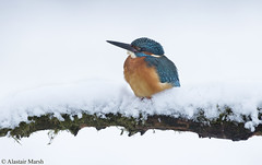 Kingfisher in the Snow (Alastair Marsh Photography) Tags: lake fish snow bird ice water birds animal animals fishing frost wildlife yorkshire feathers feather freezing freeze kingfisher britishwildlife smallanimal smallanimals britishbirds britishbird britishanimals yorkshirewildlife malekingfisher britishanimal