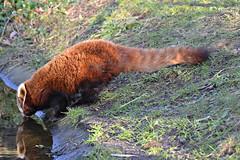 DSC_3942 - Red Panda (102er) Tags: uk nature animal animals fauna zoo nikon wildlife chester tamron 70300 d3100