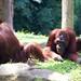 "Orangutan • <a style=""font-size:0.8em;"" href=""http://www.flickr.com/photos/128593753@N06/16535221351/"" target=""_blank"">View on Flickr</a>"