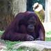 "Orangutan • <a style=""font-size:0.8em;"" href=""http://www.flickr.com/photos/128593753@N06/16536951425/"" target=""_blank"">View on Flickr</a>"