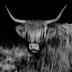 Highland Cattle (Ged Slaughter Photography) Tags: bw tongue cattle horns highland highlandcattle exmoor gedslaughter
