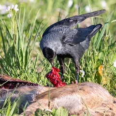 Red Meat (Mr F1) Tags: food bird feeding eating prey carrion carcass scavenger redmeat jackdaw scavenge johnfanning animalcarcasses