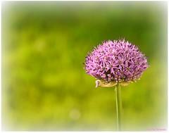 erblht (mayflower31) Tags: flower blume blte garten frhling zierlauch