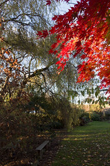 IMG_4863-maple autumn leaves-garden-A (geoffgleave) Tags: autumn leaves garden japanesemaple