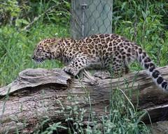 DSC06885 (Ed McKaveney) Tags: zoo cub pittsburgh leopard