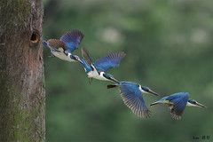 Collared Kingfisher flying out (Ken Goh thanks for 2 Million views) Tags: wild white tree cute out flying shot hole pentax action flight kingfisher avian nesting collared k3 da300