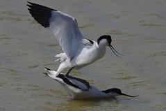 IMGP3926 Avocet, Minsmere, May2016 (bobchappell55) Tags: wild bird nature wildlife reserve mating minsmere avocet rspb wader