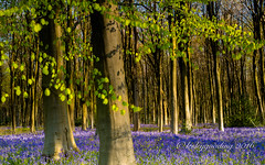 shadows of morning (pixellesley) Tags: morning flowers trees sunlight leaves bluebells forest woodland landscape branches wildflowers breezy beeches hyacinthoidesnonscripta lesleygooding
