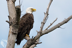 Bald Eagles of Princeton NJ | 2016 - 8 (RGL_Photography) Tags: nature birds eagle wildlife baldeagle godblessamerica ornithology mothernature raptors haliaeetusleucocephalus birdsofprey mercercounty gardenstate americanbaldeagle princetonuniversity carnegielake delawareandraritancanalstatepark lakecarnegie wildlifephotography nikond500 nikonafs200500mmf56eedvr eaglesofnj