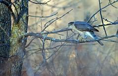 Cooper's Hawk - pervier de Cooper - Accipiter cooperii (DSC_5683-1F-TD-20160503) (Michel Sansfacon) Tags: coopershawk faune accipitercooperii pervierdecooper parcsqubec parcnationaldeslesdeboucherville nikond7000 sigma150600mmf563dgoshsmsports