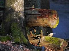 Zapfen-Volltreffer fr Nachhaltigkeit (waidlerwiki) Tags: trees germany bavaria sustainability regeneration bayerischerwald nationalparkbayerischerwald piceaabies norwayspruce nachhaltigkeit fichtenzapfen verjngung moderholz bavarianforestnationalpark waldverjngung